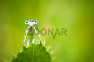 Blue Damselflies on a leaf