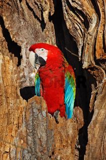 Gruenfluegelara, Ara chloroptera, green-winged macaw