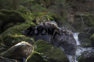 Trockenschleuder... Europäische Braunbären *Ursus arctos*