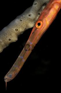 Pazifischer Trompetenfisch, Aulostomus chinensis