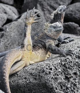 Meerechse beim Yoga- Marine Iguana doing Yoga