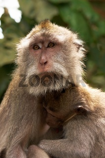 Javaneraffe, Crab-eating Macaque