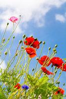 Rote Mohnblumen ragen in den Himmel