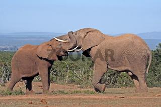 Rangelnde Elefanten, Südafrika