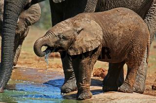 Junger Elefant beim Trinken, drinking elephant