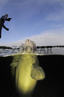 Delphinapterus leucas, Beluga Wal, White Whale