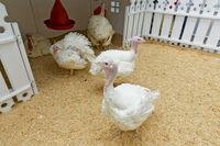 Domestic turkeys in the pen on the farm
