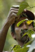 Pepper harvest, Kerala, India