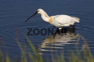 Loeffler, Platalea leucorodia, White spoonbill, Common Spoonbill,  Niederlande, Netherlands