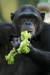 SchimpanseSchimpanse (lat: Pan troglodytes, en: Chimpanzee) mit Salat mit Salat