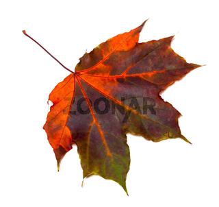 Multicolor autumnal maple leaf