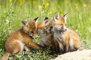 family of young red foxes ( Vulpes vulpes ) playing near the den