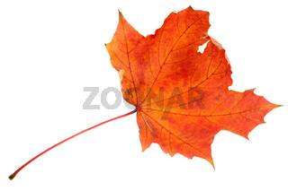 Red maple leaf, large DoF