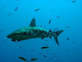 Hai und kleine Fische
