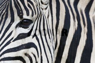 Steppenzebra, (Equus quagga), Plains Zebra
