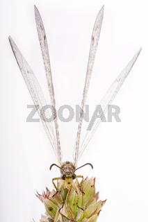 Gefleckte Ameisenjungfer (Euroleon nostras) - adult antlion (Euroleon nostras)