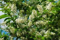 lush bird cherry tree branch with flowers