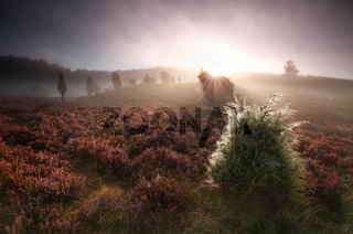 foggy sunrise over hills with unipers and heather