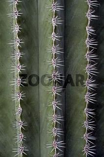 Stachelreihen vom Kandelaberkaktus Pachycereus pringlei