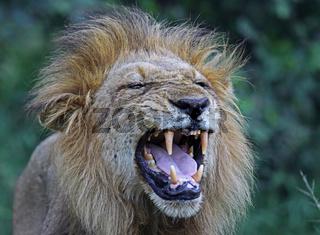 Männlicher Löwe, male Lion, Südafrika, South Africa