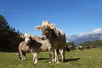 Rinderherde auf der Alm