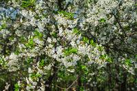 white cherry tree blossom in a garden