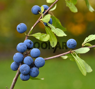 Schlehdorn; Prunus spinosa; sloe; blackthorn;