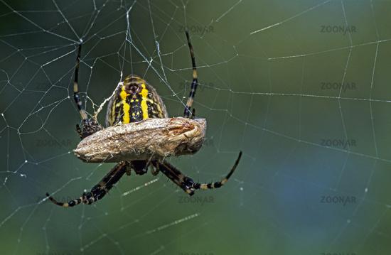 Wespenspinne gehoert zur Familie der Radnetzspinnen  -  (Tigerspinne - Foto Weibchen mit Grashuepfer) / Argiope bruennichi