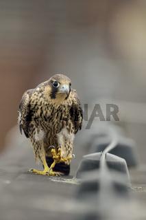 der Wanderer... Wanderfalke *Falco peregrinus*