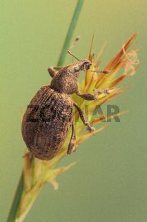 Variabler Plumpruessler (Liophloeus tessulatus)