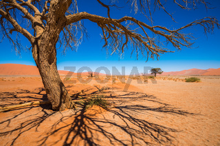 Dead Camelthorn Trees and red dunes in Sossusvlei, Namib-Naukluft National Park, Namibia
