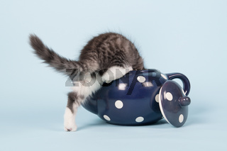 Maine coon kitten in tea pot