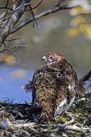 Moorschneehuhn / Lagopus lagopus
