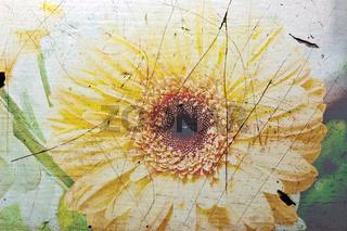 Gerbera Blüte mit Textur