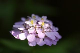 Schleifenblume