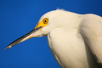 Portrait of Snowy egret