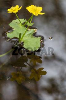 Sumpfdotterblumen (Caltha palustris) in einem Bach, Lappland