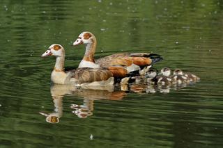 Nilgansfamilie