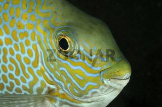 Goldfleck-Kaninchenfisch, Portrait