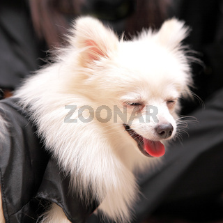 dog smile, pomeranian