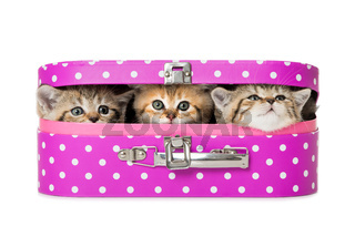 Kätzchen im Koffer