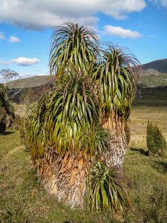 Impressive Pandanus palms in the Cradle Mountain NP, Tasmania