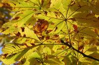 Kastanienbaum im Sonnenlicht