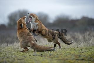 heftiger Streit... Rotfüchse *Vulpes vulpes*