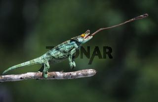 Parsons Chameleon beim Fliegenfangen, Calumma parsonii, Parsons chameleon, catching flies