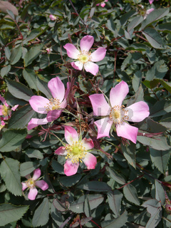 Rosa glauca, Hechtrose, redleaved rose