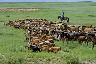Herde Kaschmirziegen in der mongolischen Steppe, Bulgan Aimag, Mongolei