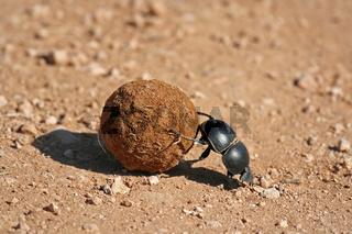 Pillendreher, Südafrika, Dung beetle, south africa