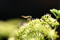 Insektenmakro einer Schwebfliege