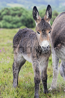 A Wet Young Donkey